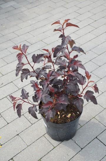 Physocarpus opulifolius 'Red Compact 1' (Pęcherznica kalinolistna) - C5