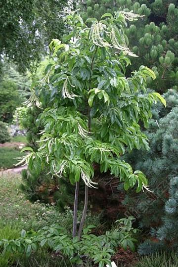 Oxydendrum arboreum (Kwaśnodrzew konwaliowy) - C5