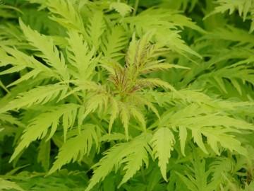 Sambucus racemosa 'Golden Lace' (Bez koralowy) - C5
