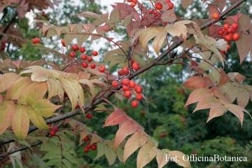 Sorbus commixta (Jarząb dalekowschodni) - C5