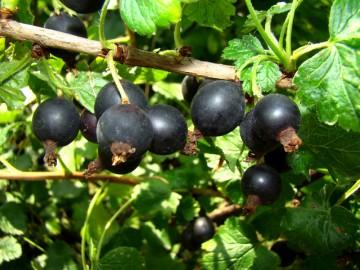 Ribes nidigrolaria 'Josta' (Porzeczkoagrest) - C3,5