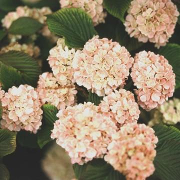 Viburnum plicatum 'Mary Milton' (Kalina japońska) - C5