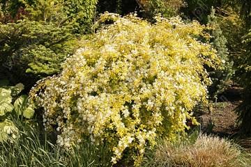 Spiraea x vanhouttei 'Gold Fountain' (Tawuła van Houtte'a) - C5
