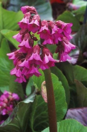 Bergenia cordifolia 'Shoeshine Rose' (Bergenia) - C2