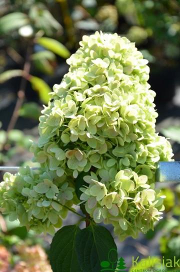 Hydrangea paniculata MAGICAL MOONLIGHT 'Kolmagimo'