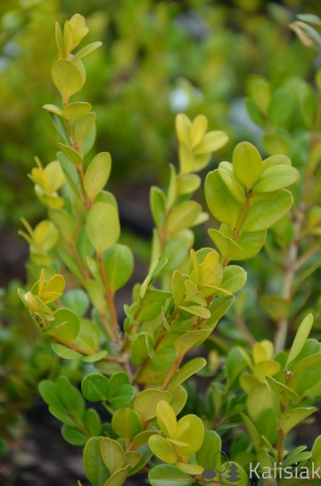 Buxus microphylla 'Winter Gem' (Bukszpan drobnolistny) - C3