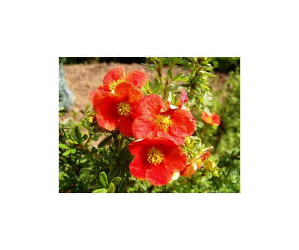 Potentilla fruticosa 'Lucas Red'