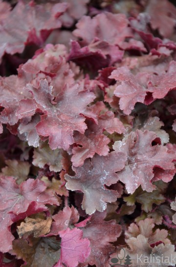 Heuchera 'Red Fury' (Żurawka)  - C2