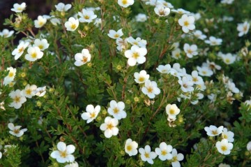 Potentilla fruticosa 'White Lady'