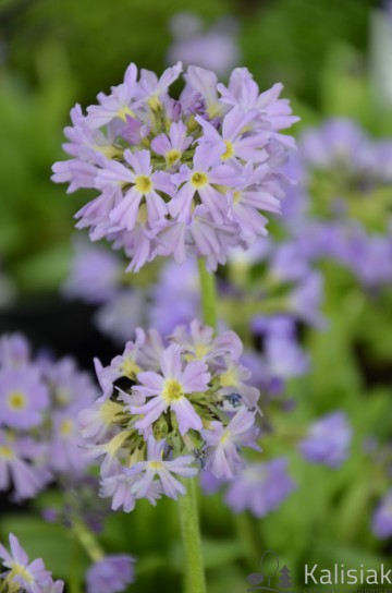 Primula denticulata 'Corolla Blue' (Pierwiosnek ząbkowany) - C2