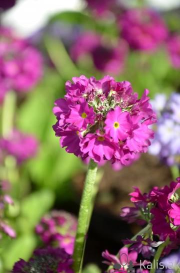 Primula denticulata 'Corolla Deep Rose' (Pierwiosnek ząbkowany) - C2