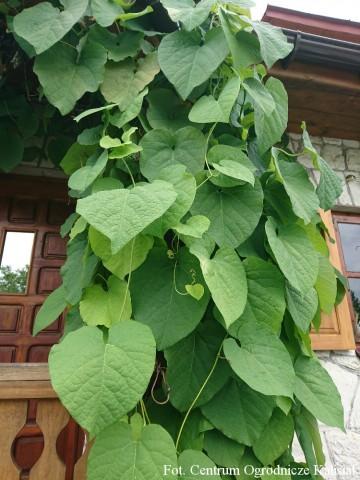Aristolochia durior (Kokornak wielkolistny) - C2