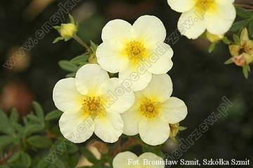 Potentilla fruticosa 'Limelight'