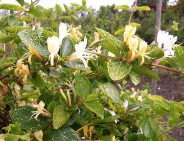Lonicera japonica 'Aureoreticulata' (Wiciokrzew japoński) - C2