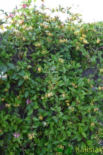 Lonicera japonica 'Purpurea' (Wiciokrzew japoński) - C2