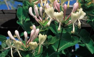 Lonicera caprifolium 'Inga' (Wiciokrzew przewiercień) - C2