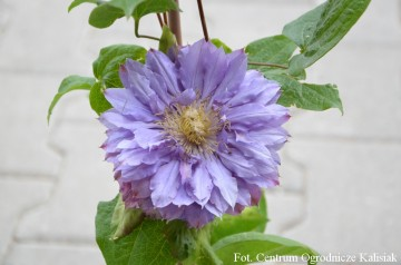 Clematis 'Vyvyan Pennell' (Powojnik)  - C2