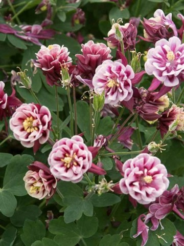 Aquilegia 'Winky Double Red & White' (Orlik)  - C2