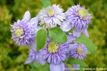 Clematis 'Blue Light' (Powojnik)  - C2