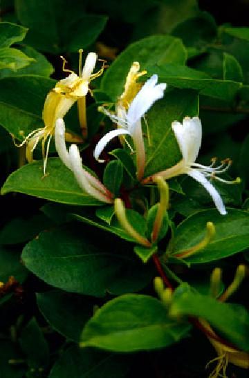 Lonicera japonica 'Halliana' (Wiciokrzew japoński) - C2