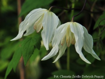 Clematis 'Lemon Beauty' (Powojnik)  - C2