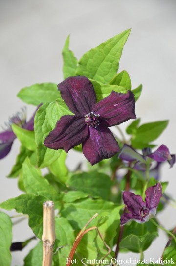 Clematis 'Dark Eyes'