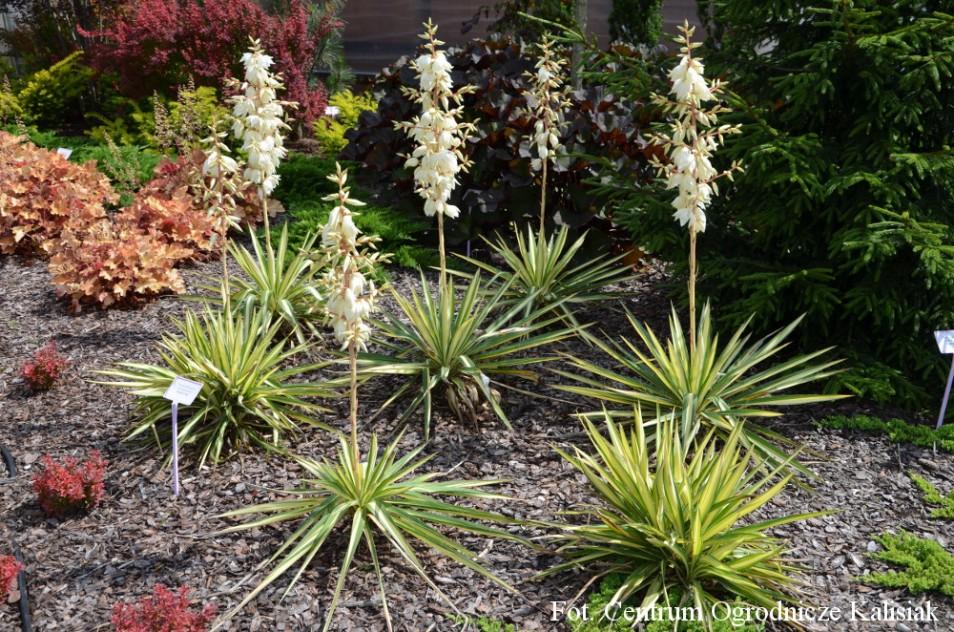 Yucca Filamentosa 'Color Guard' (Juka karolińska) - C5