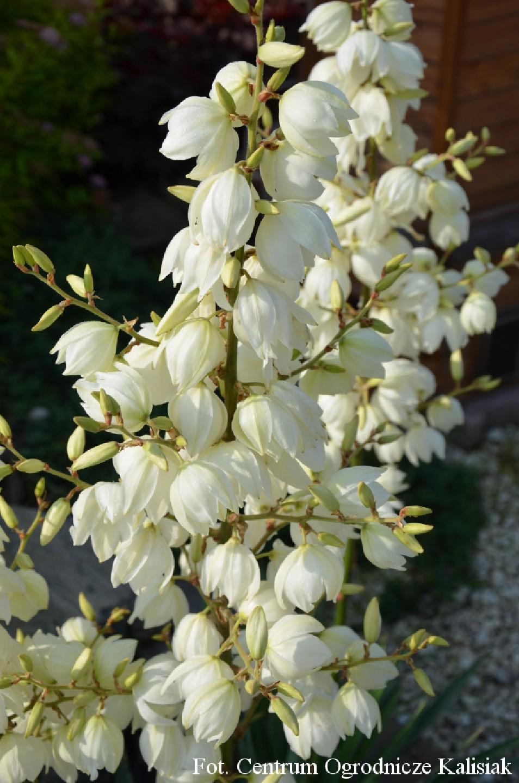 Yucca filamentosa (Juka karolińska) - C5