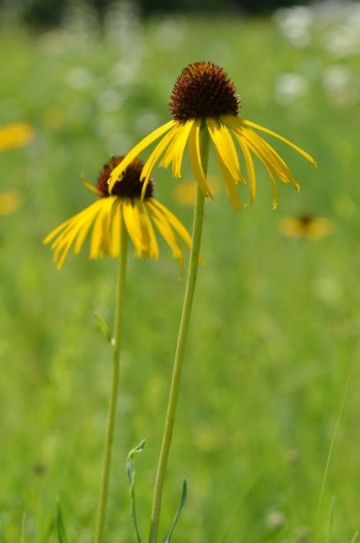 Echinacea paradoxa (Jeżówka żółta) - P11