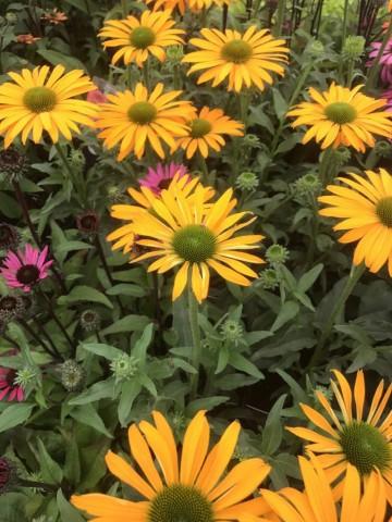 Echinacea 'Yellow Shades' (Jeżówka) - P11