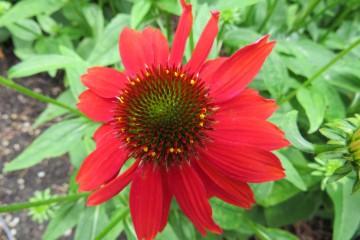Echinacea purpurea 'Red' (Jeżówka purpurowa) - P11