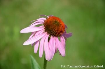 Echinacea purpurea 'Double Decker' (Jeżówka purpurowa) - P11