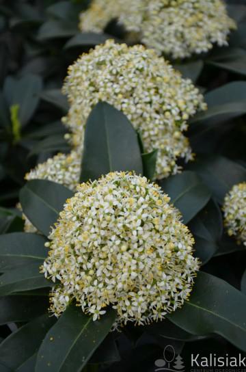 Skimmia japonica 'White Globe' (Skimia japońska) - P19