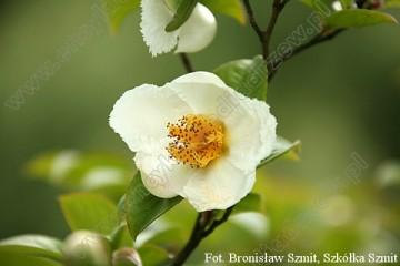 Stewartia pseudocamellia (Stewarcja kameliowata) - C5