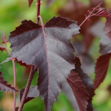 Betula pendula 'Royal frost' (Brzoza brodawkowata) - C5
