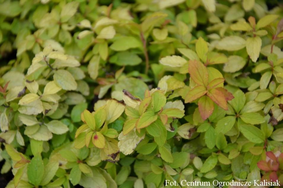 Spiraea japonica 'Golden Elf'
