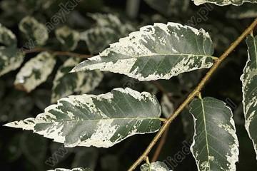 Zelkova serrata 'Variegata' (Brzostownica japońska) - C7,5 PA
