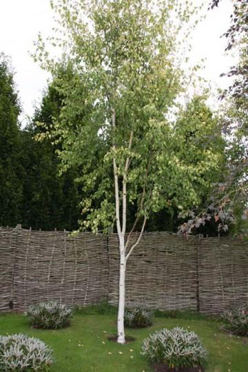 Betula pendula FASTIGIATA JOES 'Jolep 1' (Brzoza brodawkowata) - C5