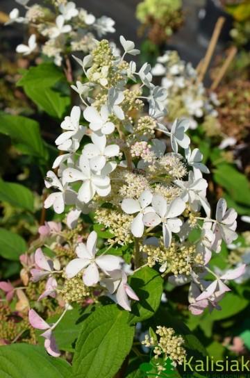 Hydrangea paniculata MAGICAL FLAME 'Bokratorch'