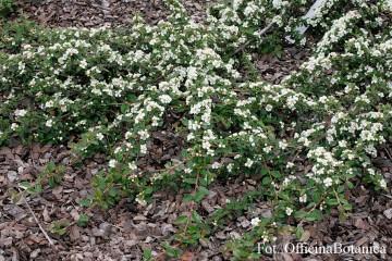 Cotoneaster 'Ursynów' (Irga) - C3