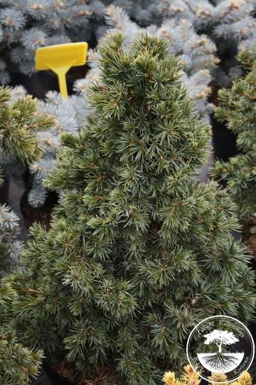 Picea omorika 'Wodan' (Świerk serbski) - C5