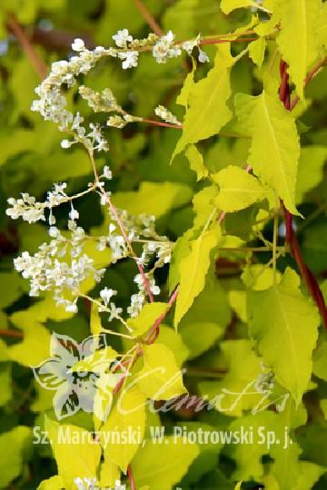 Fallopia baldschuanica SUMMER SUNSHINE 'Acofal' (Rdestówka bucharska) - C2