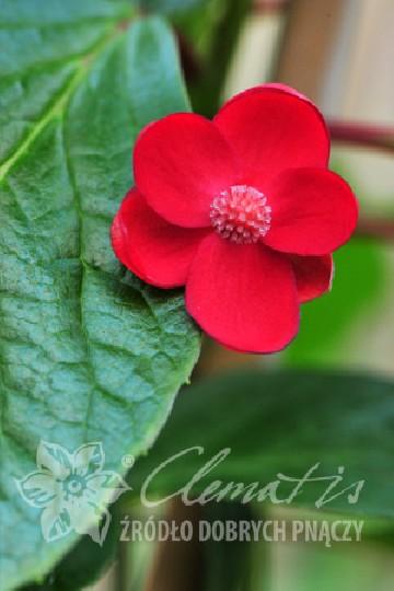Schisandra rubriflora Ż (Cytryniec czerwonokwiatowy forma żeńska) - C2
