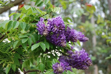Wisteria frutescens 'Longwood Purple' (Glicynia amerykańska) - C2