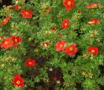 Potentilla fruticosa 'Red Robin' (Pięciornik krzewiasty) - P15