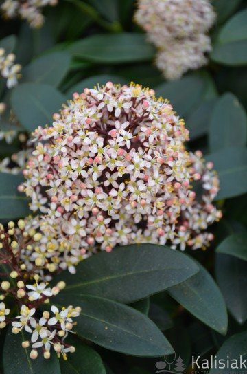 Skimmia japonica 'Rubella' (Skimia japońska) - P19