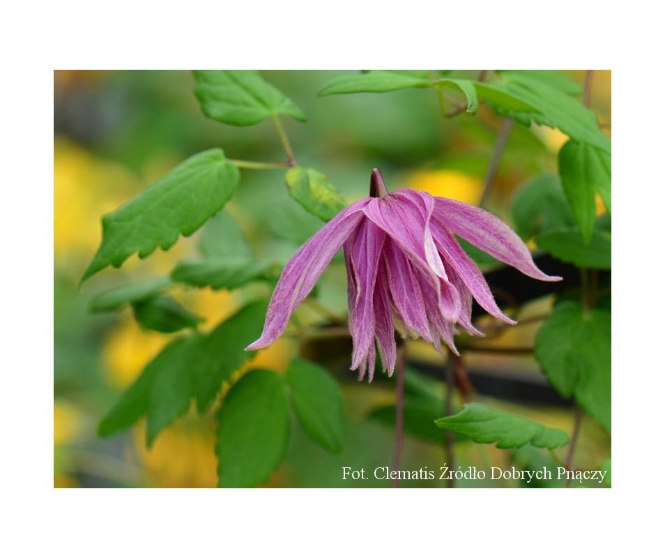 Clematis 'Purple Dream'