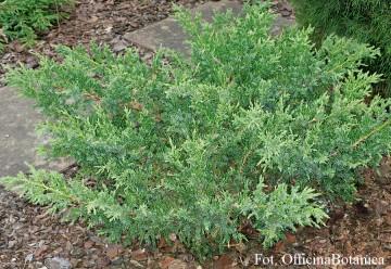 Juniperus conferta 'Blue Pacific' (Jałowiec nadbrzeżny) - C5