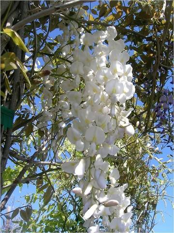 Wisteria sinensis 'Texas White'
