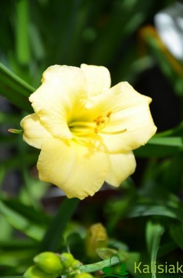 Hemerocallis 'Precious D'Oro' (Liliowiec ogrodowy) - C3
